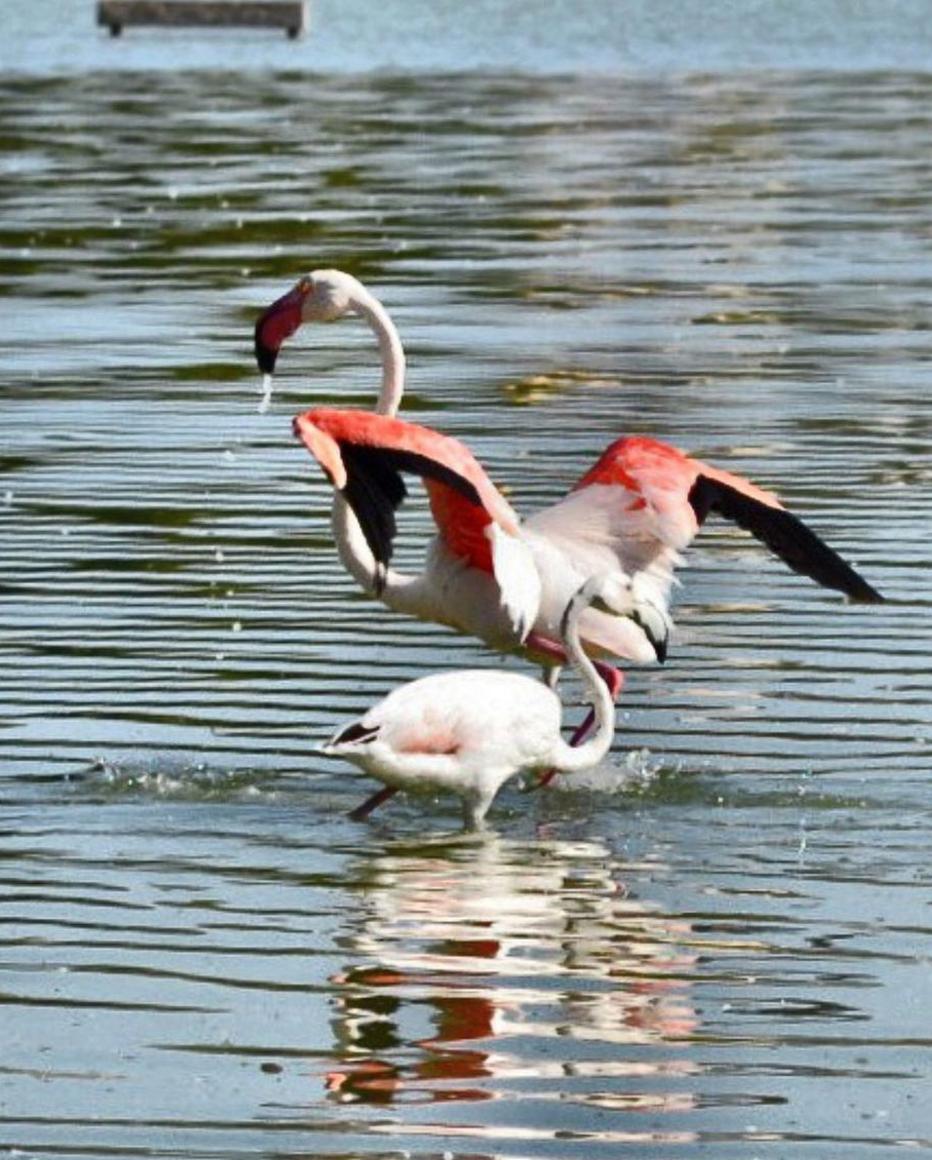 flamingos-Calpe-las-Salinas